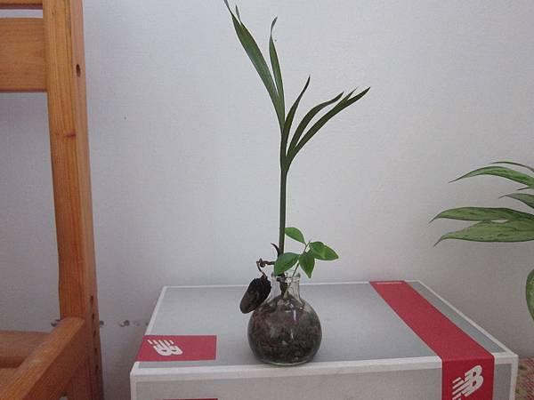 01清爽的水耕種子盆栽-紅棕櫚+沉香.JPG
