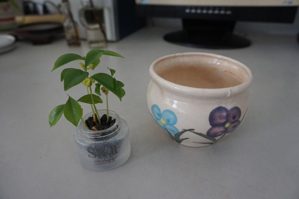 01沉香種子盆栽~移植前準備.JPG