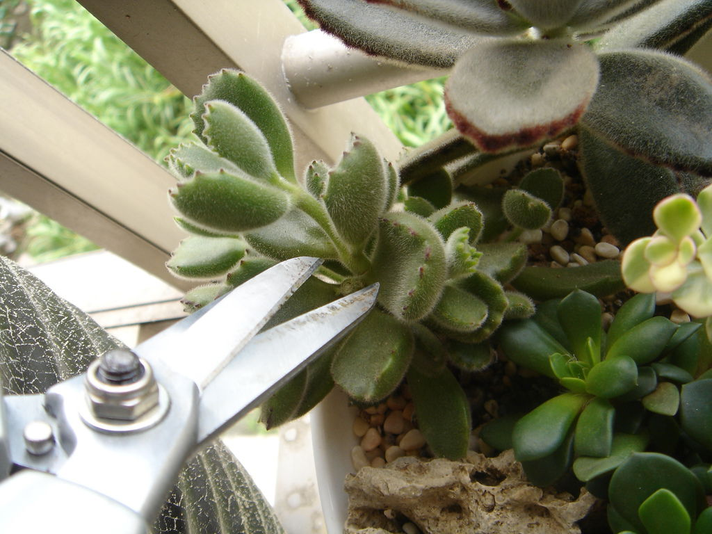 03熊童子的扦插---簡單的說就是把頂芽剪下來,插在土裡就好了.JPG
