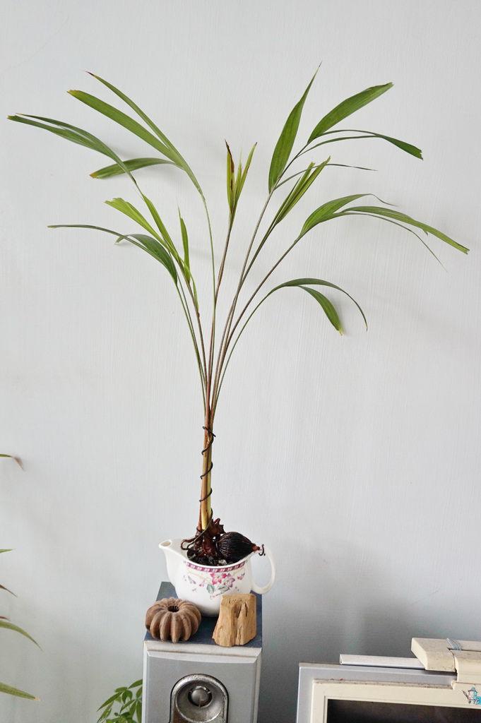 01重新組合種植的狐尾椰子.JPG