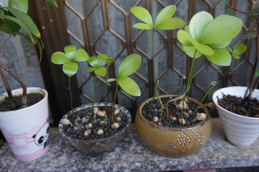 01墨西哥蘇鐵(幸運樹)種子盆栽(20160605拍攝).JPG