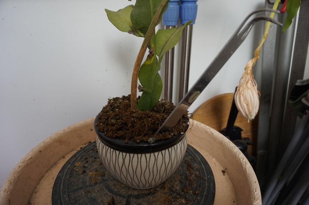 12使用鐵耙子(不銹鋼熊爪)將根部挖出.JPG