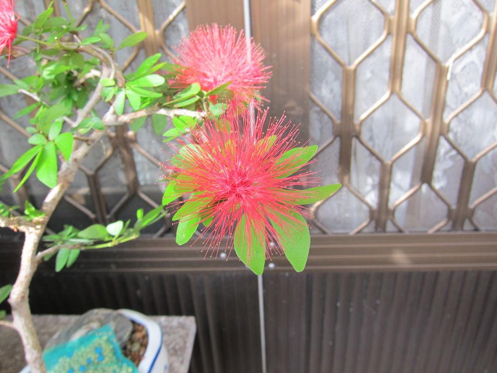 01紅粉撲花.JPG