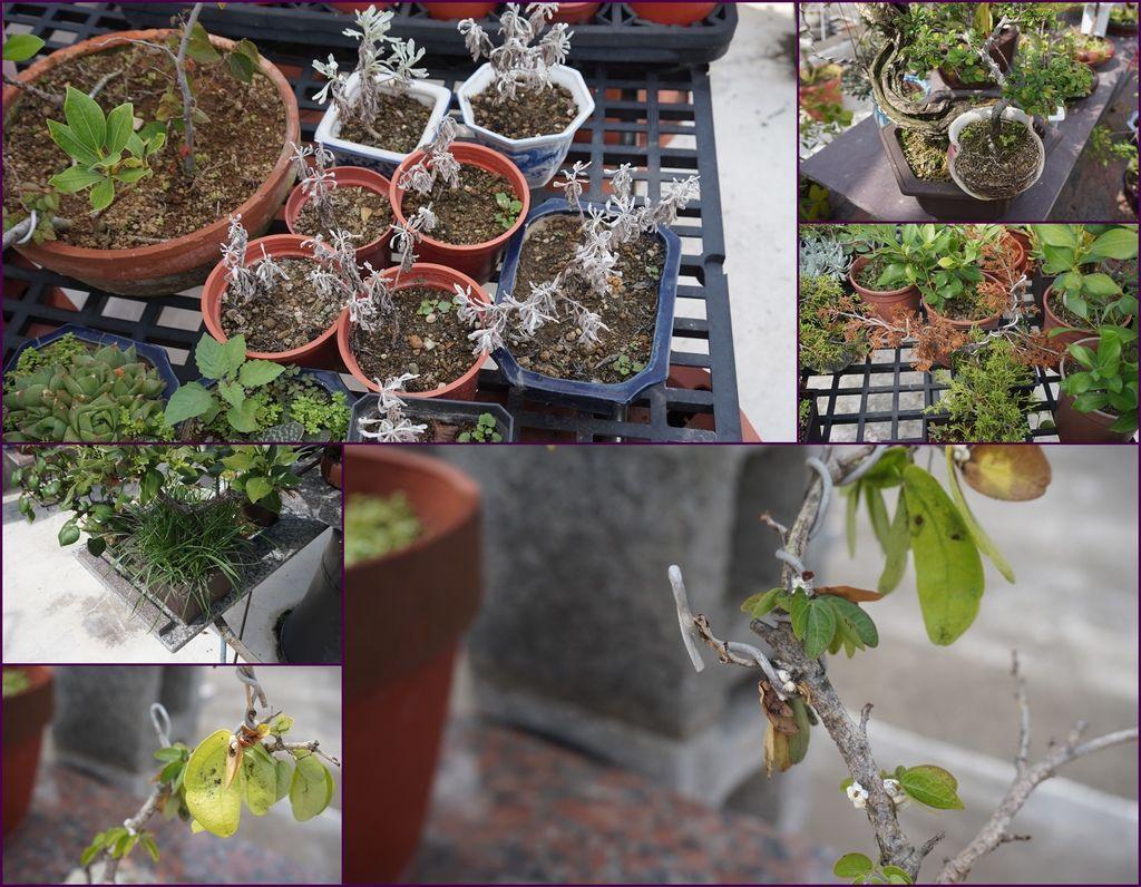 12當然不是每一棵都很完美~也有生病,枯萎,破盆,雜草叢生的盆栽.jpg