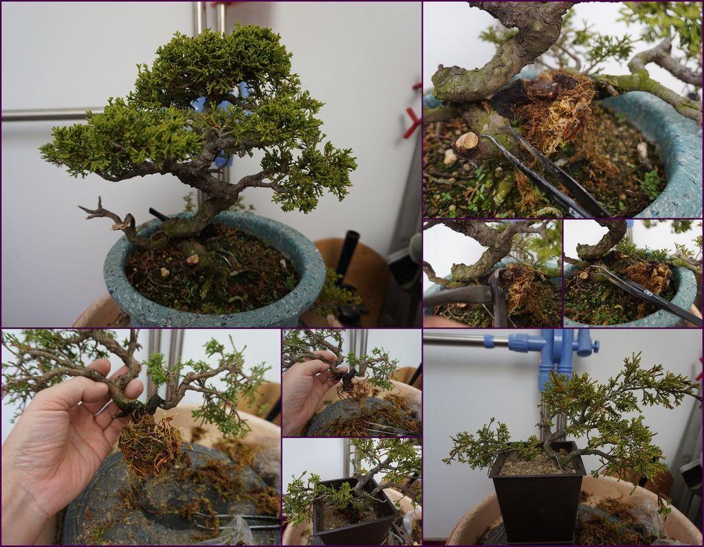 17自己DIY~高壓繁植法~更多盆栽種植樂趣.jpg