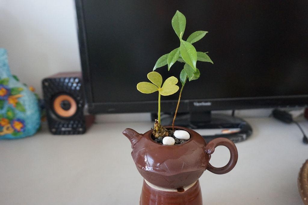 01小茶壺~墨西哥鐵樹與沉香小苗的組合盆栽(20180113拍攝).JPG