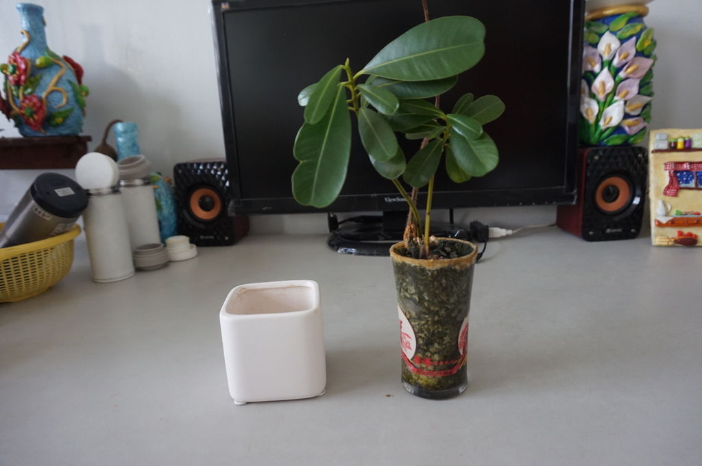 01瓊崖海棠及柚子種子組合盆栽.JPG