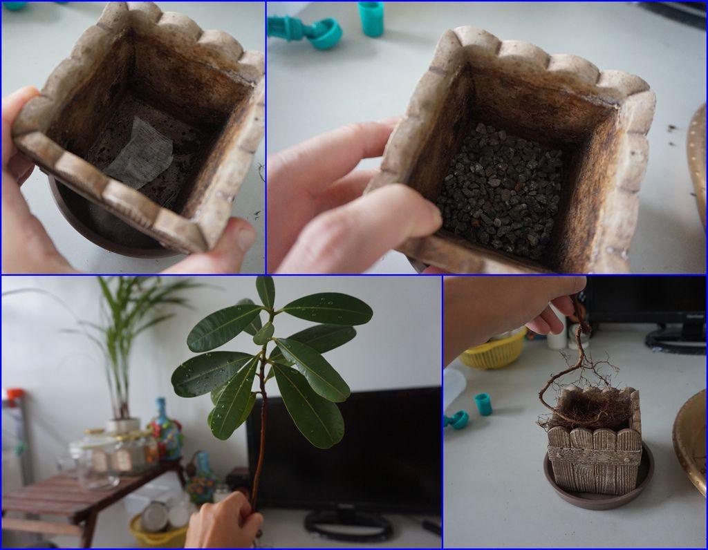 06先種植大棵的瓊崖海棠.jpg