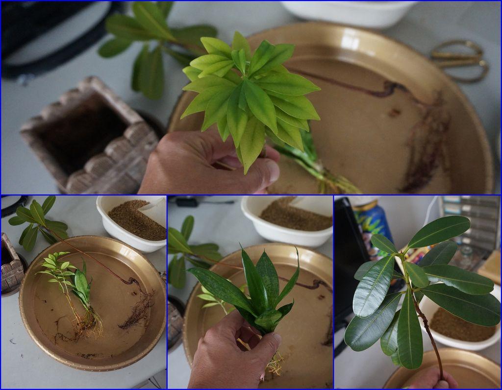 05室內長成的種子盆栽~都長得很健康.jpg