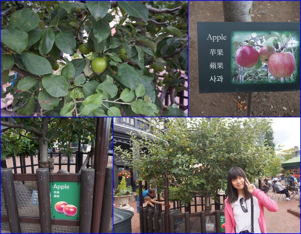 17在白色戀人花園裡~看到蘋果樹(身平第一次)~已經結了好多蘋果了.jpg