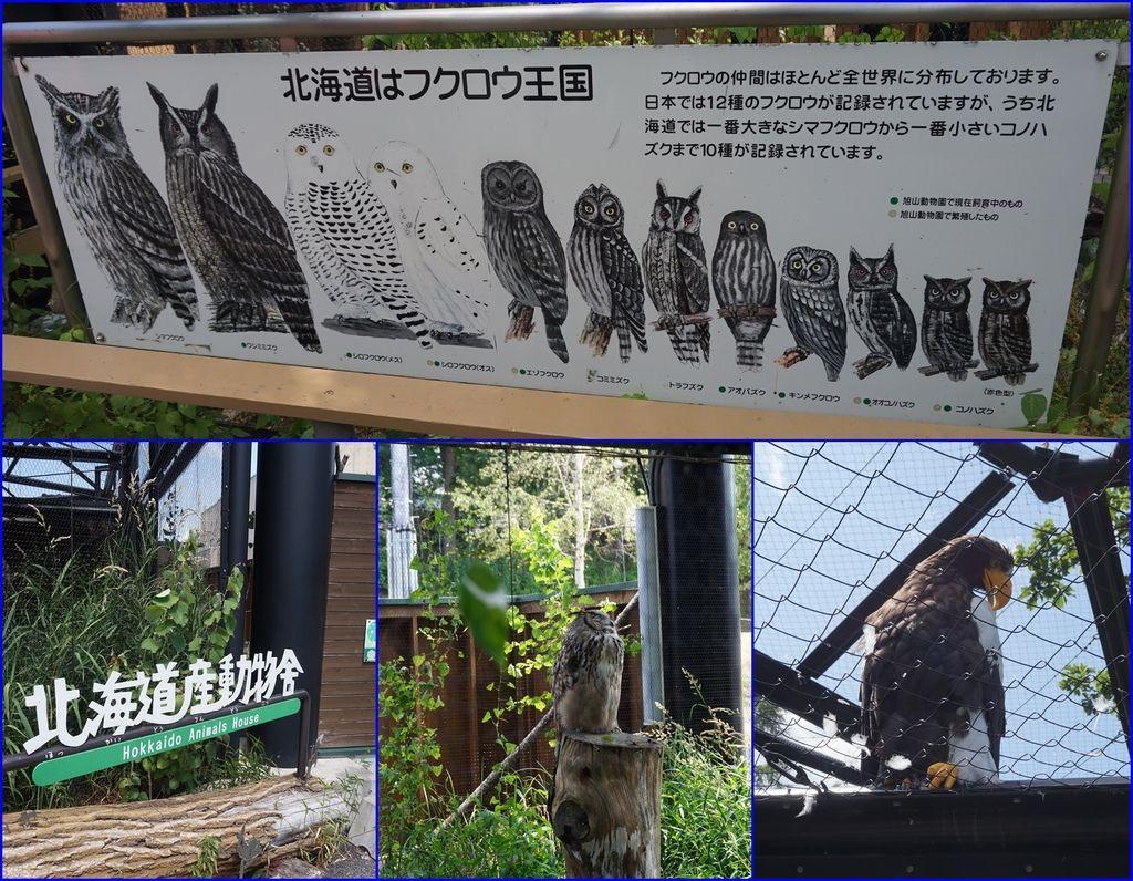 12貓頭鷹及大老鷹.jpg