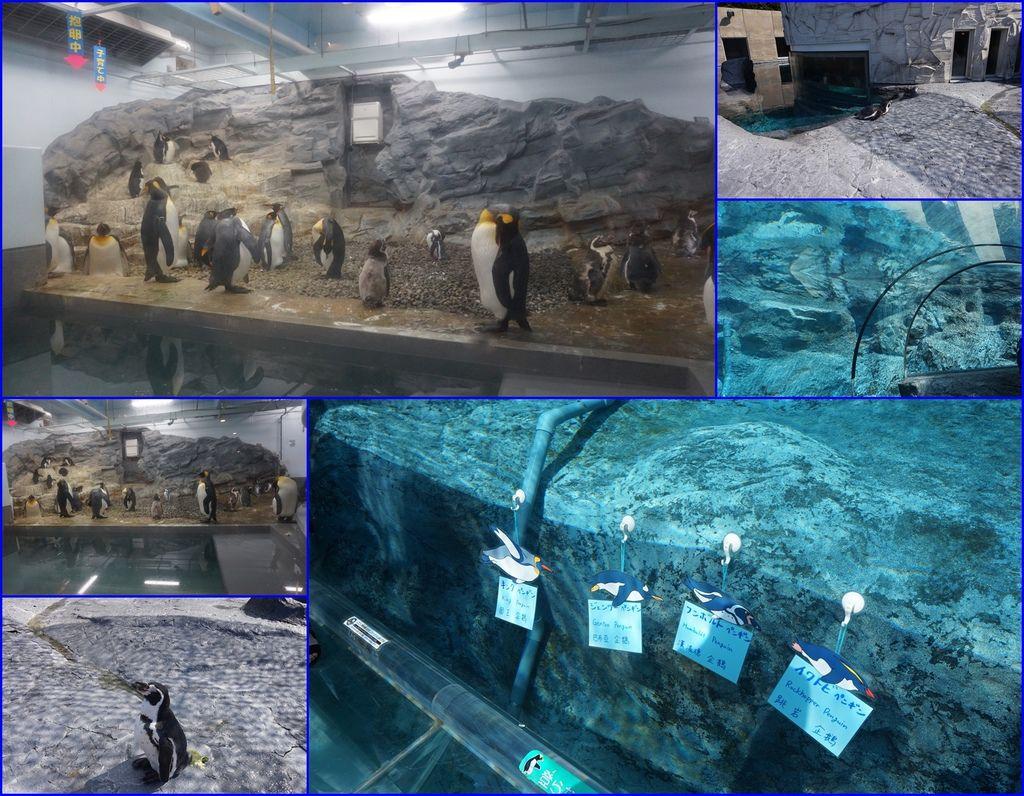 20企鵝~物物園明星之一~可惜夏天都在室內冷氣~沒出來逛動物園.jpg