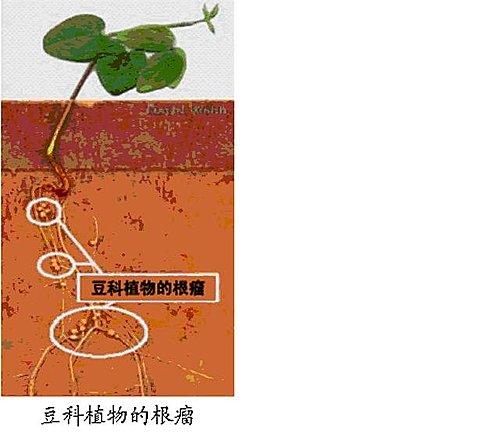 豆科植物的根瘤