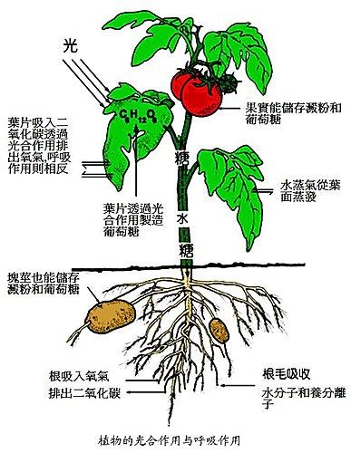 植物的光合作用與呼吸作用