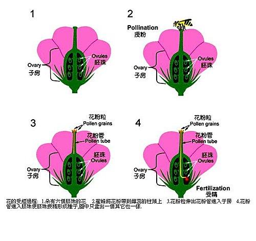 花的受精過程