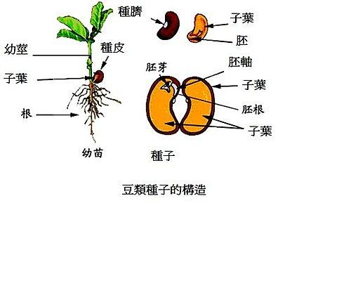 豆類種子的構造