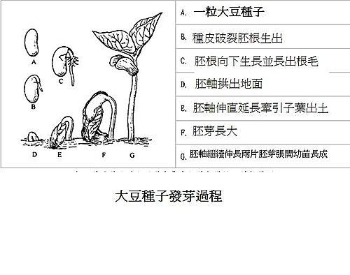 大豆種子發芽過程