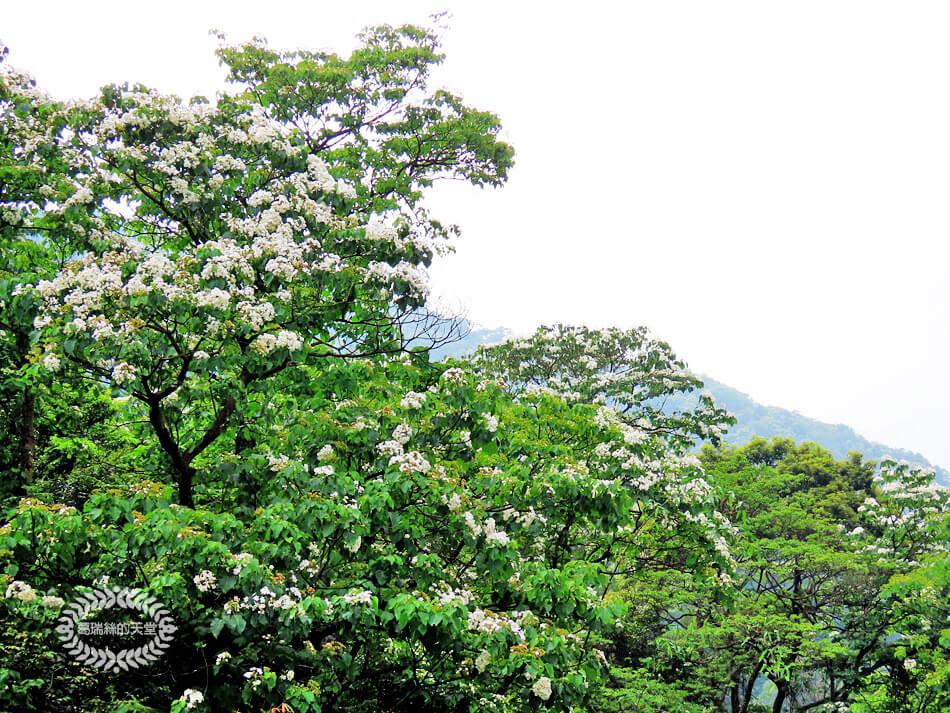 土城景點-桐花公園 (47).jpg
