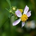 紫花(芽變)咸豐草
