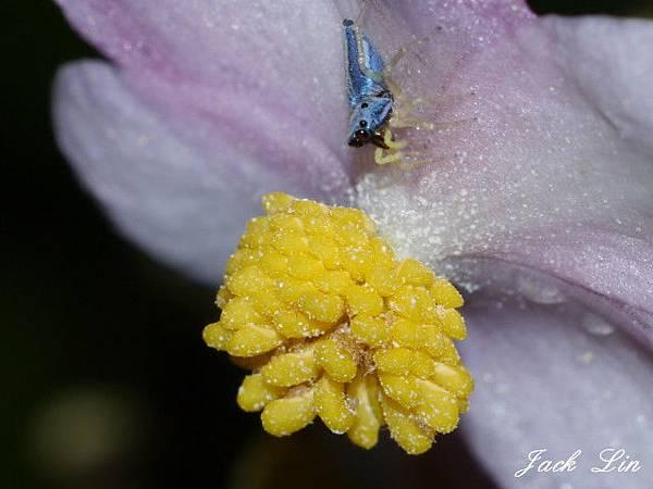 水鴨腳秋海棠雄花和二叉黑條蠅虎