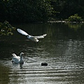 小白鷺與大白鵝