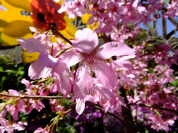 阿里山採櫻花之旅2.jpg
