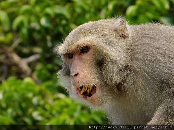柴山獼猴04