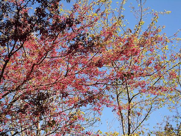 阿里山採櫻花之旅1.jpg