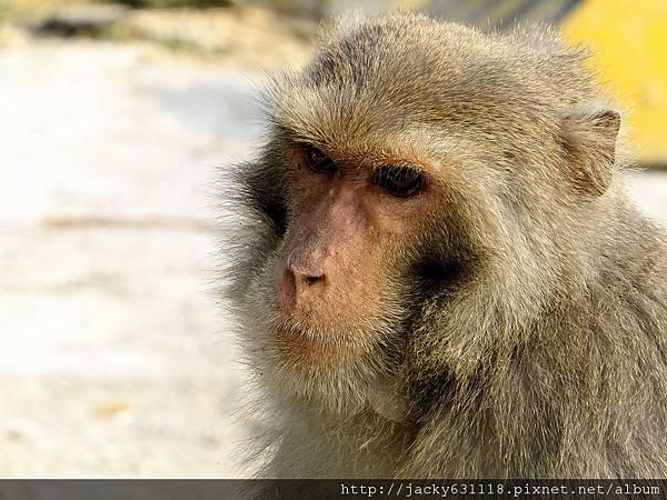 柴山獼猴02
