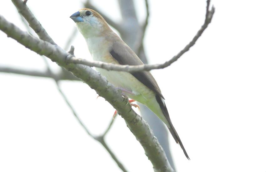 白喉文鳥 (1).JPG