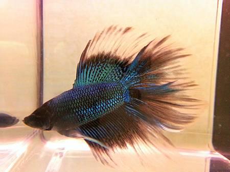 水墨藍蝶1