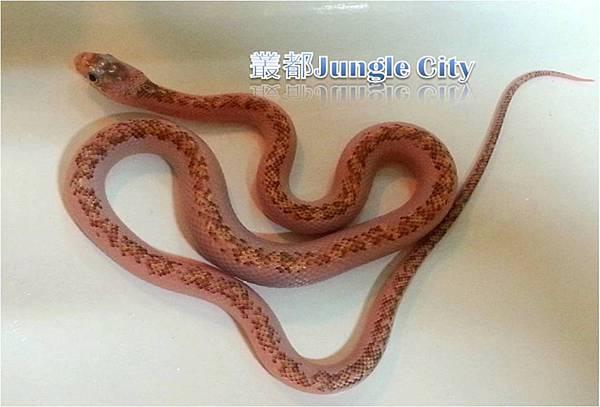 母銀背鼠蛇-1
