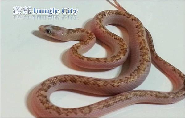 母銀背鼠蛇-3