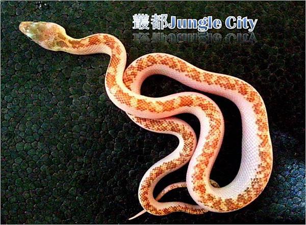 公銀背鼠蛇-2