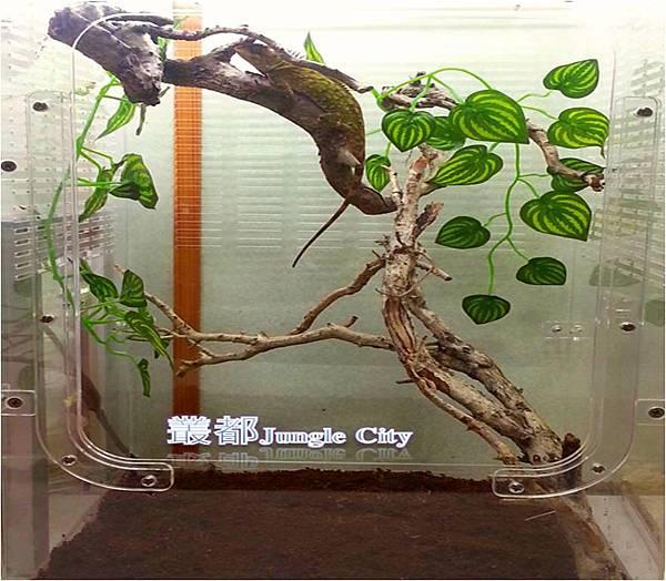 叢都長棘蜥-8