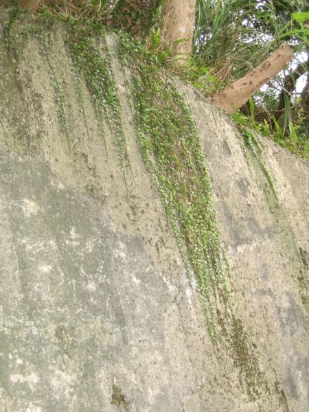伏石蕨在牆上往下爬著長