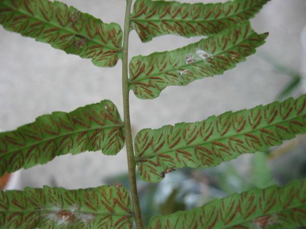 成熟的筆筒樹孢子囊