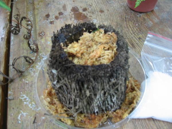 放上蛇木盆之後也墊一點水苔在盆底就可以安置蕨類的植株了