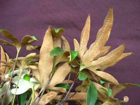 葉背總是佈滿孢子囊卻絕不任意生長.JPG