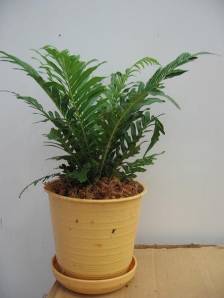 小小的蕨盆栽