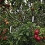 apple-tree-250-5