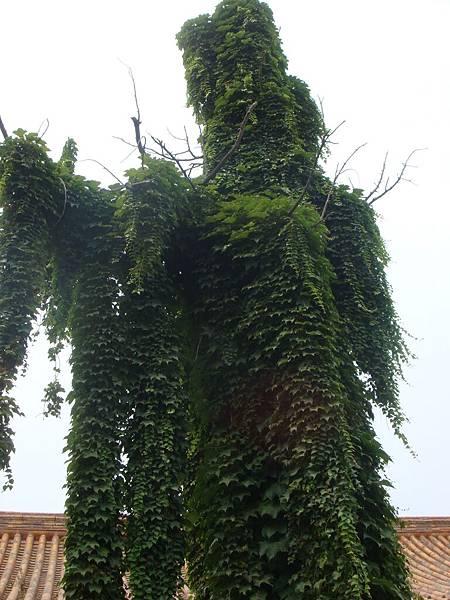D10 北京 _005_這顆葡萄樹很像人.JPG