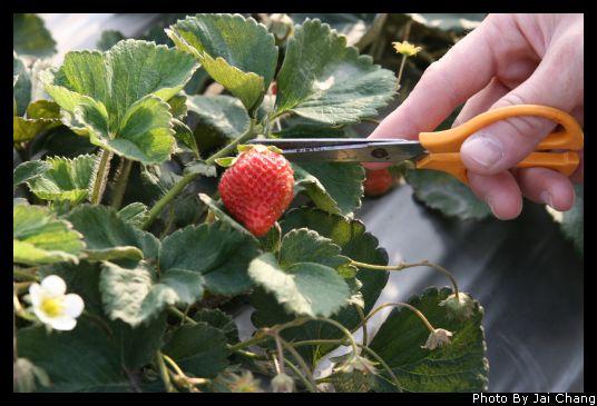台中採草莓