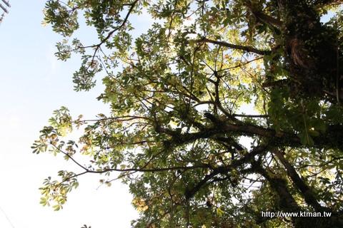 海角七號景點-友子奶奶的家-路旁大樹躺著拍