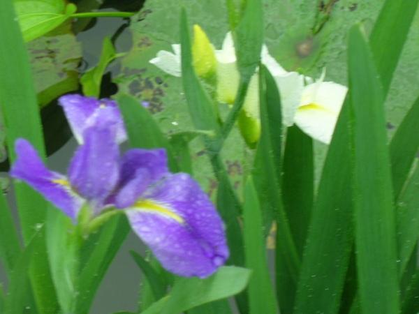 水中鳶尾花