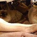 兩貓同窩.jpg