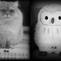 貓頭鷹與貓.jpg