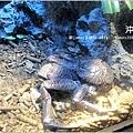 【沖繩之旅】海洋博公園-沖繩美麗海水族館27.JPG
