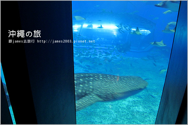 【沖繩之旅】海洋博公園-沖繩美麗海水族館29.JPG