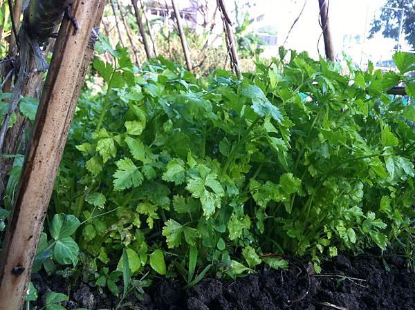 農作-芹菜